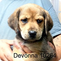 Adopt A Pet :: Devonna - baltimore, MD