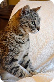 Domestic Shorthair Cat for adoption in Midland, Texas - Axel