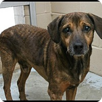 Shar Pei/Hound (Unknown Type) Mix Dog for adoption in Hilton Head, South Carolina - Scrappy