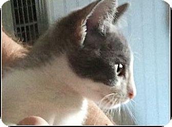 Domestic Shorthair Kitten for adoption in Central Falls, Rhode Island - Sterling