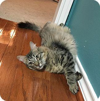 Domestic Mediumhair Cat for adoption in Arlington/Ft Worth, Texas - Dugger