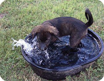 Labrador Retriever/Shepherd (Unknown Type) Mix Puppy for adoption in Woodward, Oklahoma - Bandit