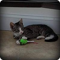 Adopt A Pet :: Daisy - Millersville, MD
