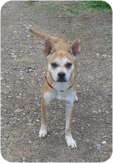 Chihuahua/Terrier (Unknown Type, Small) Mix Dog for adoption in Chandlersville, Ohio - Mya