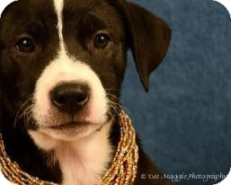 American Pit Bull Terrier/Shepherd (Unknown Type) Mix Dog for adoption in Lapeer, Michigan - Athena