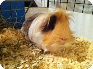 Guinea Pig for adoption in Fullerton, California - Mr. Chips and Ms. Darla