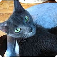Adopt A Pet :: Gray kitten - Bristol, RI
