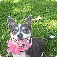 Adopt A Pet :: Bitty - West Hills, CA
