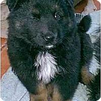 Adopt A Pet :: Bear - dewey, AZ