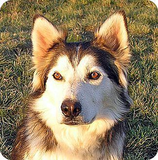 Alaskan Malamute Mix Dog for adoption in Boise, Idaho - SAMSON