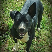 Adopt A Pet :: Shorty - Salisbury, NC