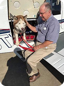 Siberian Husky Dog for adoption in Zanesville, Ohio - Logan