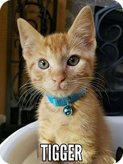 Domestic Shorthair Kitten for adoption in Rowlett, Texas - Tigger