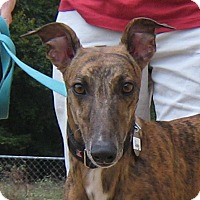 Greyhound Dog for adoption in Oak Ridge, North Carolina - Sunny