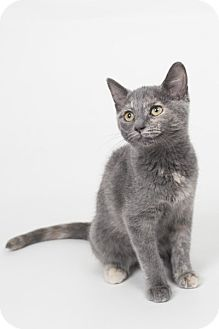 Domestic Shorthair Kitten for adoption in Lombard, Illinois - Pearl