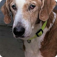 Adopt A Pet :: Ginger - Fairfax, VA