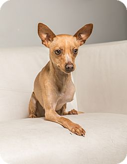 Terrier (Unknown Type, Small)/Chihuahua Mix Dog for adoption in Inglewood, California - Bambi