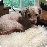Adopt A Pet :: Paul Cezanne - Atlanta, GA