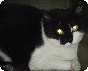 Domestic Shorthair Cat for adoption in Kensington, Maryland - Mama (Barn Cat)