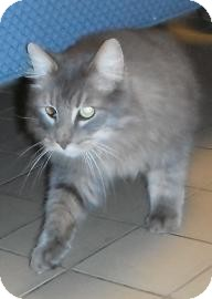 Domestic Longhair Cat for adoption in Jackson, Michigan - Web