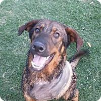 Shepherd (Unknown Type) Mix Dog for adoption in Phoenix, Arizona - Bronson
