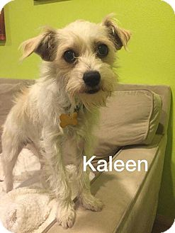 Norfolk Terrier Mix Dog for adoption in La Verne, California - Kaleen