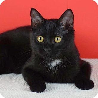 Domestic Shorthair Kitten for adoption in Columbia, Illinois - JD