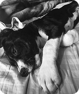 Mastiff/Australian Shepherd Mix Puppy for adoption in Aurora, Colorado - Winnie