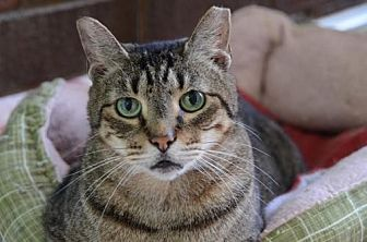 Domestic Shorthair Cat for adoption in Atlanta, Georgia - Shing 6484