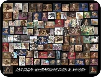 Weimaraner Puppy for adoption in Las Vegas, Nevada - LVWCR COME MEET US