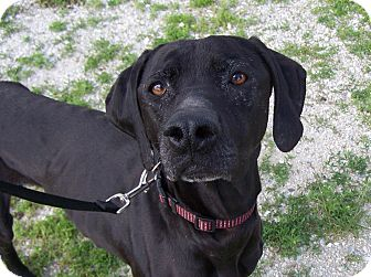 Pointer/Labrador Retriever Mix Dog for adoption in Chewelah, Washington - Dora the Explora