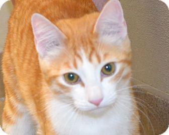 Domestic Shorthair Cat for adoption in Gilbert, Arizona - Leo