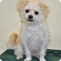 Adopt A Pet :: Ozzie - Port Washington, NY