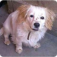 Adopt A Pet :: Patrick - dewey, AZ