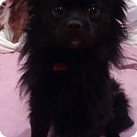 Adopt A Pet :: Sassy - Hamilton, ON