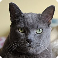 Domestic Shorthair Cat for adoption in Verdun, Quebec - Berlue