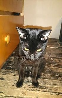Domestic Shorthair Cat for adoption in Monrovia, California - Wendy