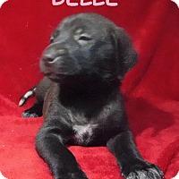 Adopt A Pet :: Belle - Batesville, AR