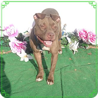 Pit Bull Terrier/American Pit Bull Terrier Mix Dog for adoption in Marietta, Georgia - POLLY