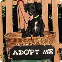 Adopt A Pet :: Percy - Oakland, AR