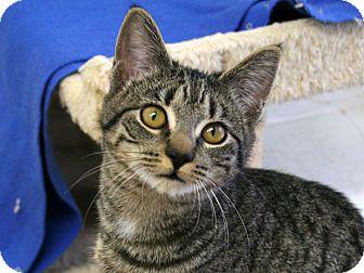 Domestic Shorthair Kitten for adoption in Republic, Washington - Doc VALENTINE'S SPECIAL! 50% O