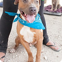 Pit Bull Terrier/Hound (Unknown Type) Mix Dog for adoption in Portland, Oregon - Neo