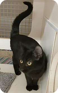 Domestic Shorthair Cat for adoption in Germantown, Maryland - Libby
