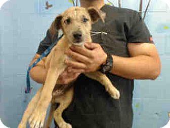 German Shepherd Dog Mix Puppy for adoption in San Bernardino, California - URGENT ON 4/29  San Bernardino