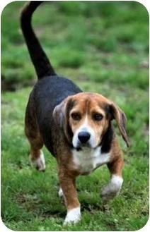 Beagle Dog for adoption in New York, New York - Barrett