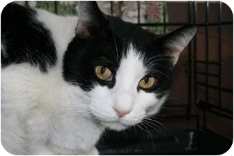 Domestic Shorthair Cat for adoption in Frederick, Maryland - Nico and Leo