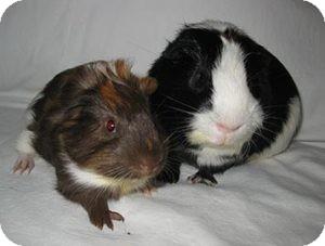 Guinea Pig for adoption in Fullerton, California - Domino and Jasper
