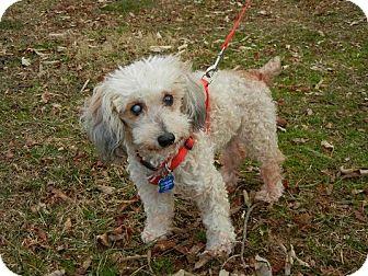 Poodle (Miniature) Mix Dog for adoption in Wilmington, Massachusetts - Gumdrop