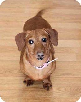 Dachshund Mix Dog for adoption in Yuba City, California - Cooper