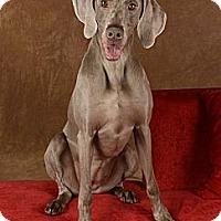 Weimaraner Dog for adoption in Las Vegas, Nevada - Gracie